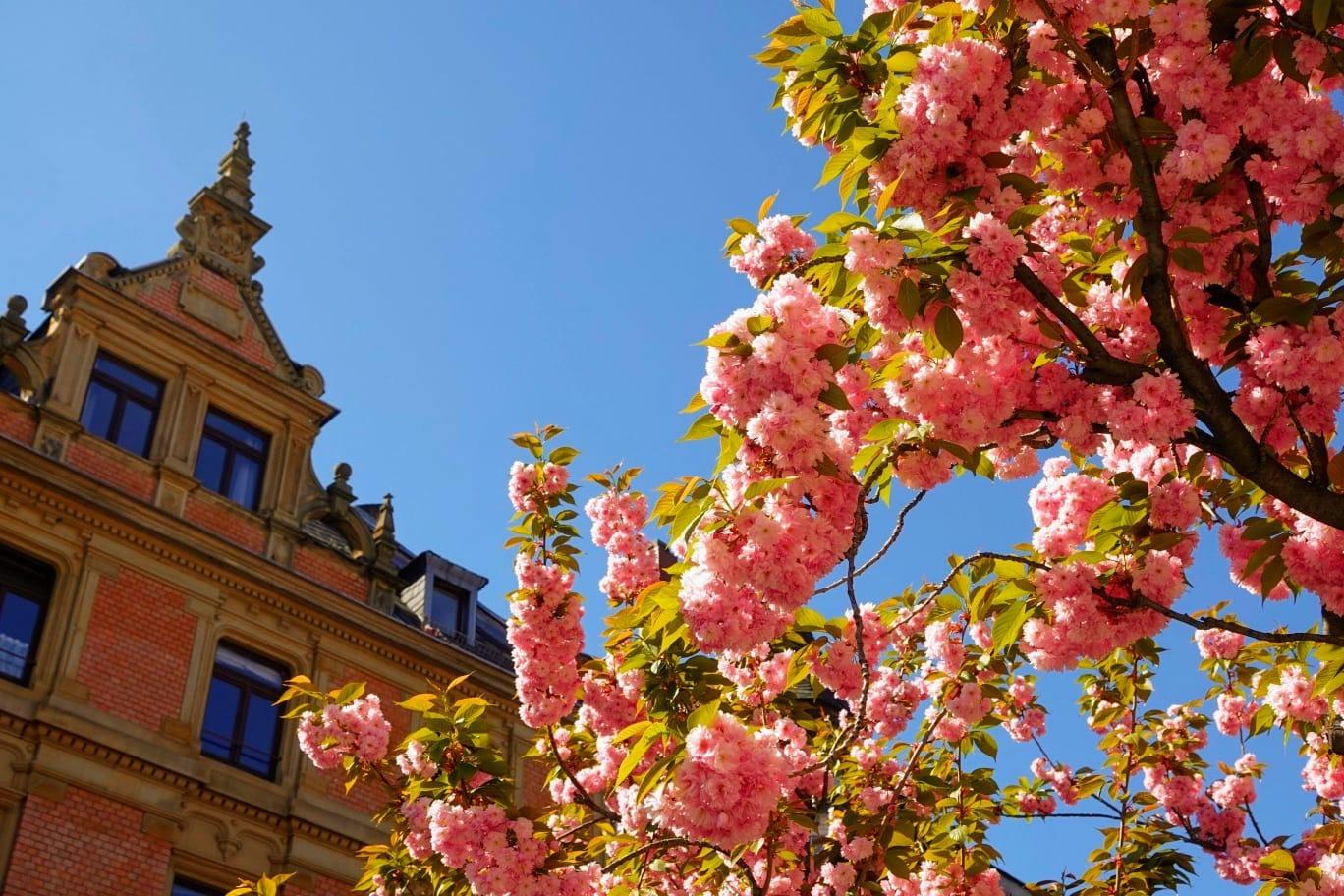 Kirschblüten auf der Leipziger Straße | (c) rkk